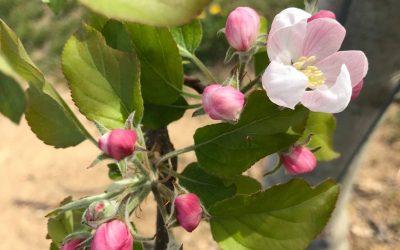 Pollinisation jour J